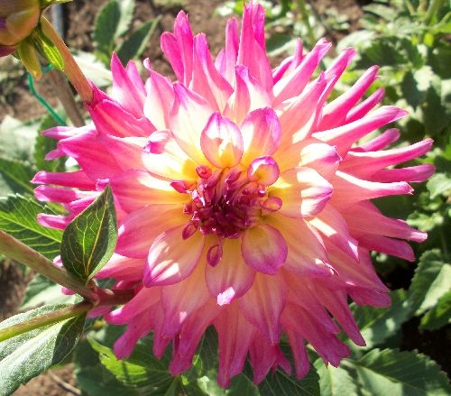 Bloomquist Dawn Dahlias By Flower Name