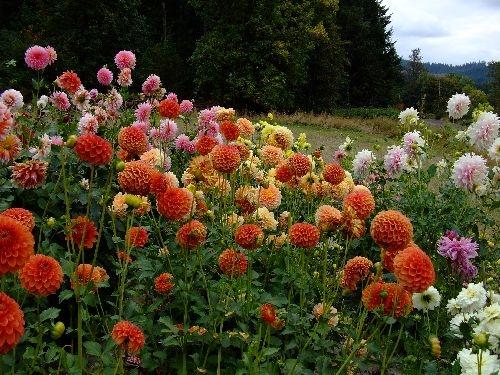 Colorful Field Photo | Dahlia Diva Field Photos