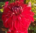 American Beauty | Dahlias by Flower Name