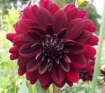Arabian Night | Dahlias by Flower Name