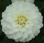 Bride to Be | Dahlias by Flower Name