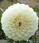 Brookside Snowball | Dahlias by Flower Name