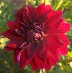 Burma Gem | Dahlias by Flower Name