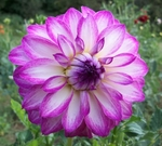 Clara Marie | New Dahlias 2012