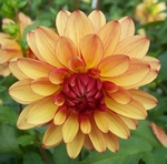 Crazy Legs | Dahlias by Flower Name