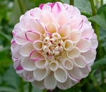 Crissie | Dahlias by Flower Name