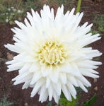Hollyhill Chrystal | New Dahlias for 2010