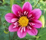 Jazzy | New Dahlias for 2011