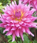 Lynette | New Dahlias 2012