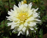 Moonstruck | New Dahlias for 2011
