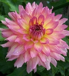 Nanna's Kiss | Dahlias by Flower Name