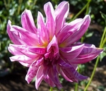 Pink Giraffe | Dahlias by Flower Name