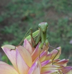 Preying Mantis on Wyn's NEW Pastel