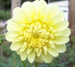 Robann Sunspot | New Dahlias for 2010