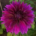 Thomas Edison | Dahlias by Flower Name