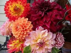 Dahlia Arrangements Bouquets