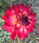 AC Rosebud | New Dahlias 2017