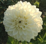 Blizzard | Dahlias by Flower Name