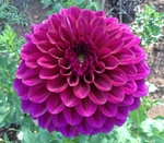 Camano Phantom | Dahlias by Flower Name