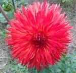 Cheyenne | Dahlias by Flower Name