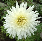 Clearview Snowcap | Dahlias by Flower Name