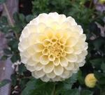 Creamy | Dahlias by Flower Name