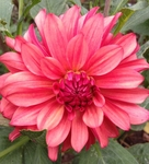 EV Calliope | Dahlias by Flower Name