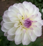 Eveline | Dahlias by Flower Name