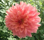 Ferncliff Copper | New Dahlias 2012