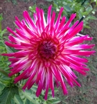 Hollyhill Starburst | New Dahlias 2012