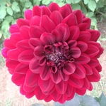 Karma Choc | New Dahlias 2017