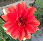 Patricia Ann Sunset | New Dahlias for 2011