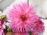 Pete's Pink Cactus