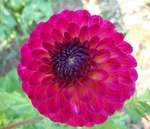 Raz Ma Taz | Dahlias by Flower Name