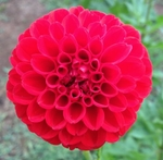 Rothsay Superb | New Dahlias for 2011