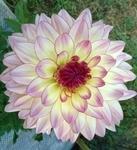 Silhoutte | Dahlias by Flower Name