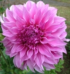 Vassio Meggos | New Dahlias for 2011