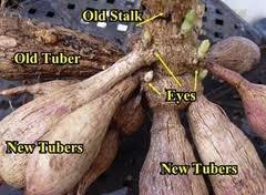 Dahlia Tubers | More Info