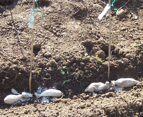 Planting Dahlia Tubers Dahlia Care